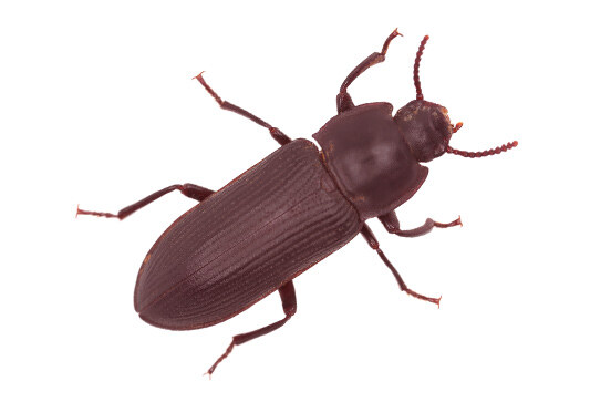 bay-area-pantry-flour-beetle