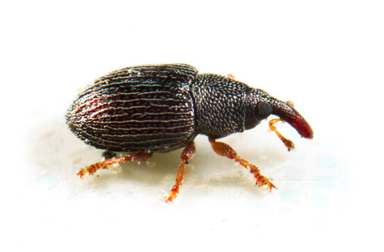 bay-area-pantry-pests-rice-weevil