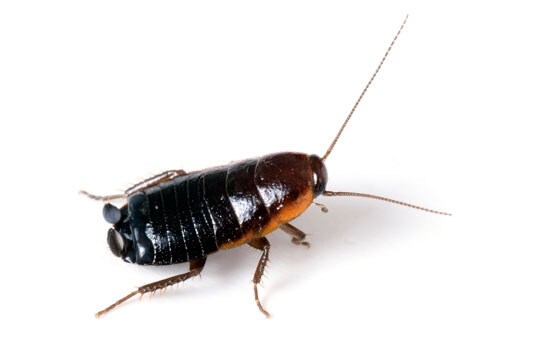 Pest Control Oriental  Oriental Cockroaches