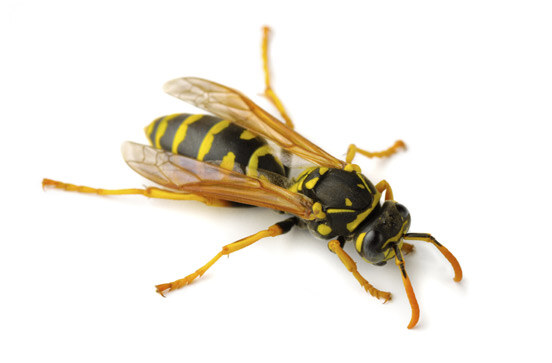 bay-area-wasp-control